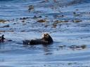 Sea Otters are abundant in Alaska.