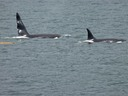 A couple of Orcas near Sitka.
