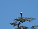 Eagles are easy to spot in Alaska.